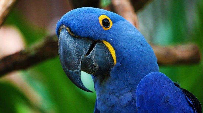 , Brasileña luego de trabajar 30 años salva al guacamayo azul de la extinción