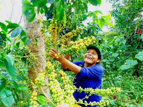 El café es uno de los productos con mayor potencial en el Vraem.