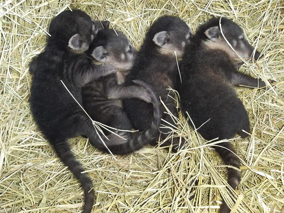 Quatro filhotes de quati são os novos moradores do Parque Zoobotânico