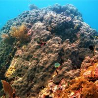 Threatened Corals in the Gulf of Mexico