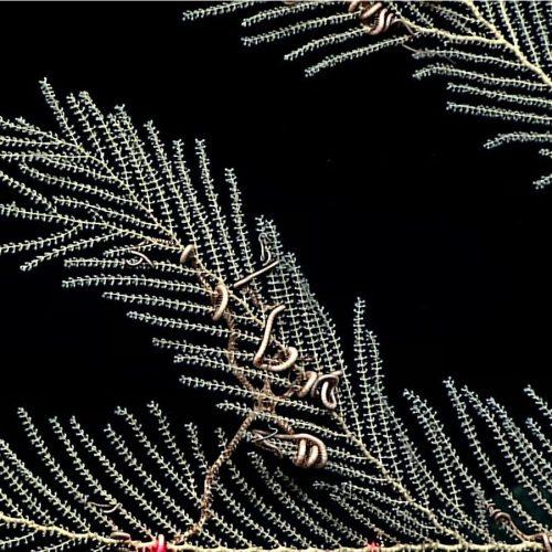 Deep Sea Soft Corals