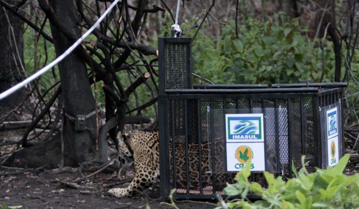 Em liberdade e monitorada: onça resgatada em incêndio do Pantanal é devolvida à natureza