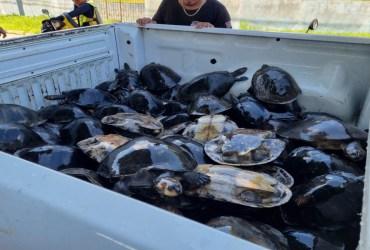 Em Itapiranga, Polícia Civil do Amazonas resgata 81 quelônios