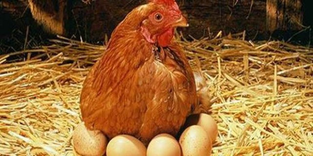 galinha-poedeira1-portalmoznews