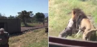 Segundo o DM, a vítima será o responsável pelo Parque. O homem foi atacado depois de ter entrado no recinto do leão e este ter dado conta da sua presença