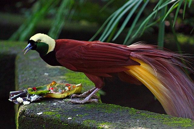 Anehnya Nama Latin Burung Cendrawasih Kok Disebut Tak Berkaki Portal Sains
