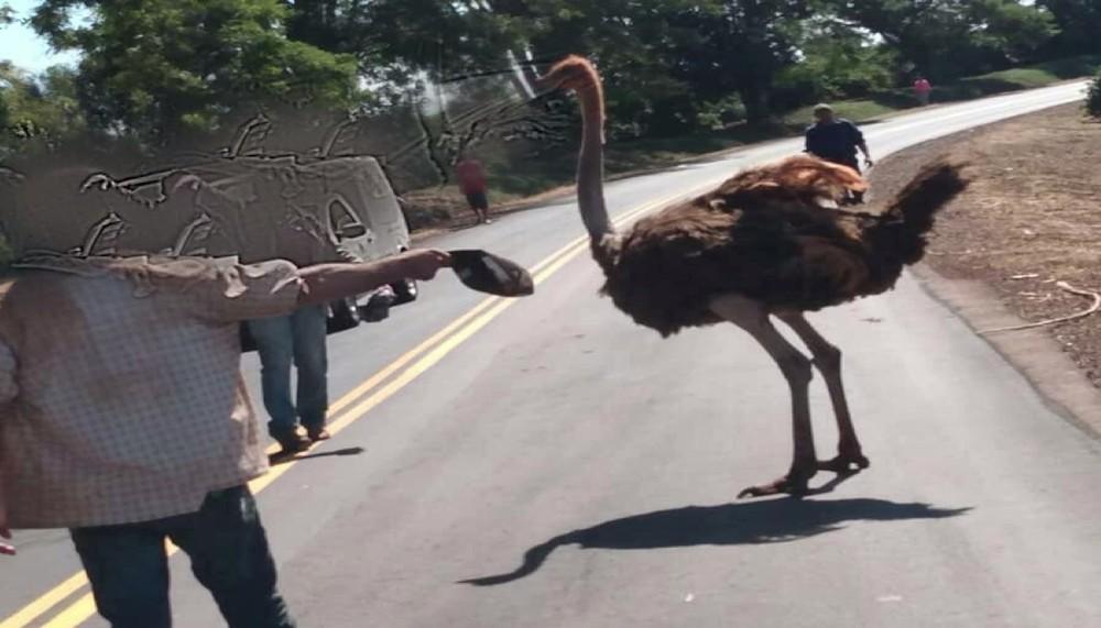 Motoristas flagram avestruz solto na PR-436 entre Bandeirantes e Abatiá