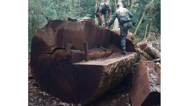 Árvore gigante rara de 535 anos foi derrubada em Santa Catarina para virar cerca