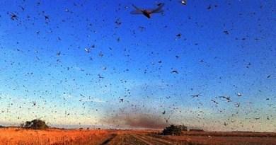 Contra nuvem de gafanhotos, ministério da Agricultura decreta estado de emergência