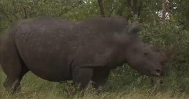 Caça furtiva de rinocerontes cai na África do Sul
