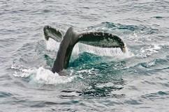 Baleine Under The Pole