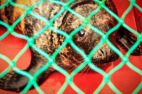 Une fois sorti de son enclos, le jeune phoque est placé dans une cage pour le transport.
