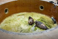 Dans leur enclos, les jeunes phoques d'Océanopolis attendent...