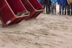 Un, deux, trois ! C'est parti, les jeunes phoques d'Océanopolis sont relâchés !