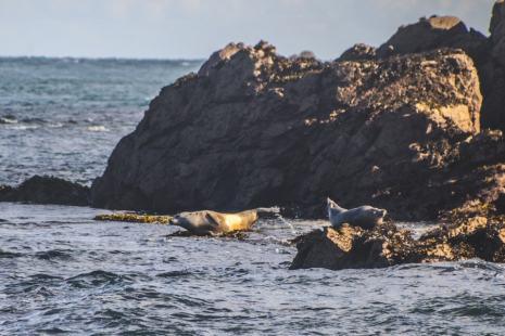 Flagrant délit de phoques gris bronzant sous le soleil breton