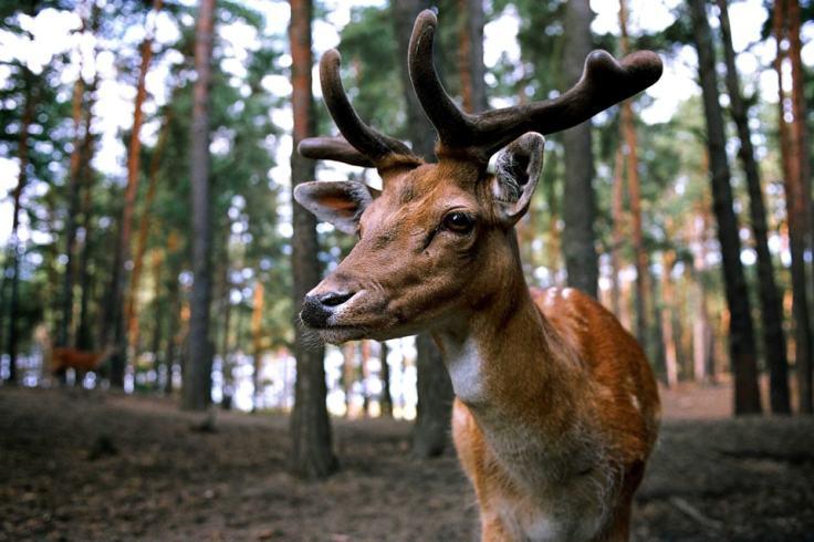 """Le cerf, ou """"karv"""", est apprécié pour la beauté de ses bois et sa prestance."""