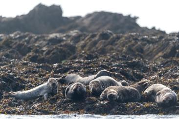 Des phoques gris qui se reposent sur les rochers