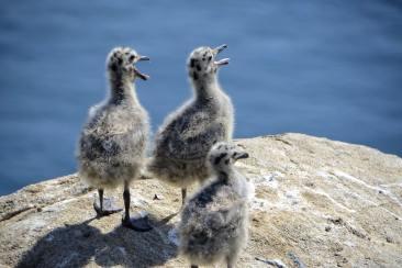 Trois jeunes mouettes sur un rocher