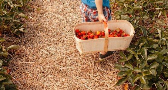 Aller cueillir des fraises à la ferme: una activité à faire absolument en famille.