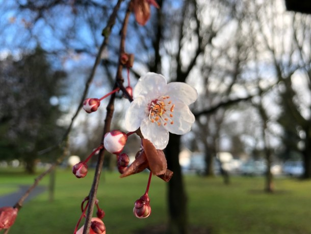 cherry blossoms portland