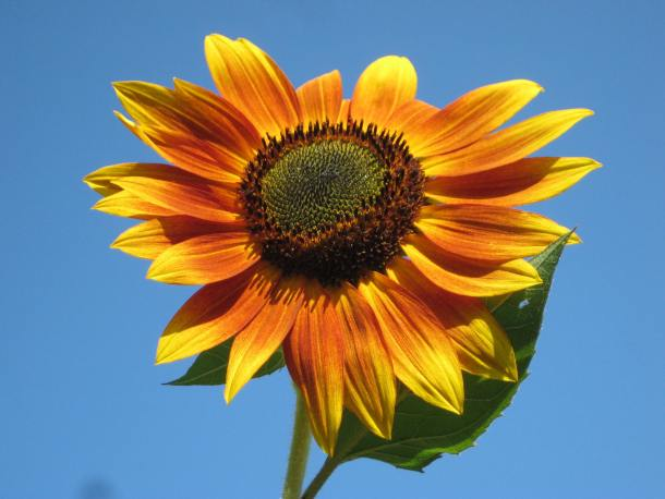 Portland Sunflower Festivals