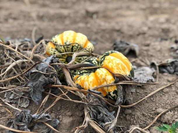 discount pumpkin patches