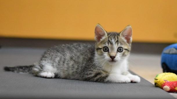 virtual kitten yoga oregon humane society