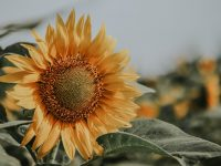 Sunflower Festival Plumper Pumpkin Patch