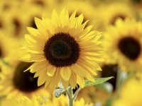lee farms sunflower festival