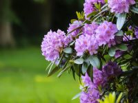 rhododendrons spring flowers portland