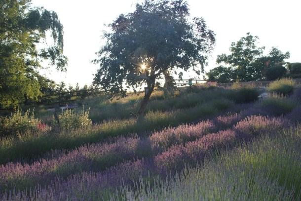 Helvetia Lavender Festival