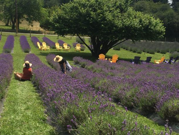 Bates Lavender Farm