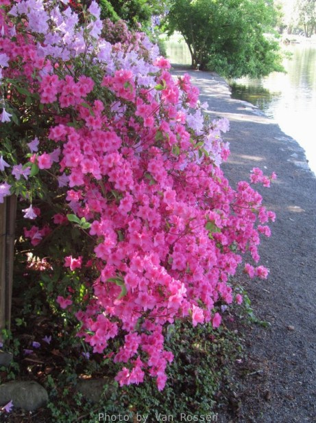 Cystal_Rhododendrons_IMG_5555