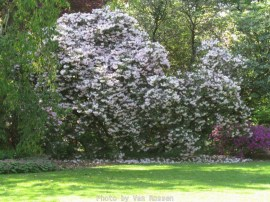 Cystal_Rhododendrons_IMG_5566
