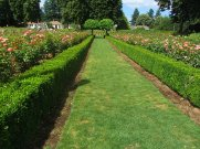 Green way path between rose beds.