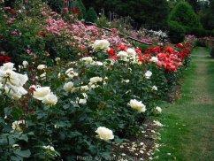 RoseGarden_DSCF2487
