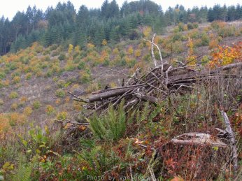 Judging by the age of the burn pile this area was cut a least five years ago and never replanted.