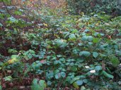 Himalaya Black Berries are most destructive plant in the area. They will choke out all native plants and have no predictor in the region.
