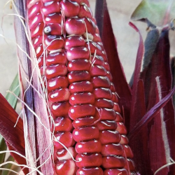 red sweet corn