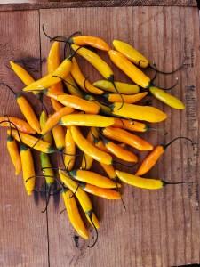 Criolla Sella pepper