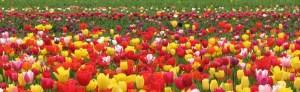 Port of Woodland tulips