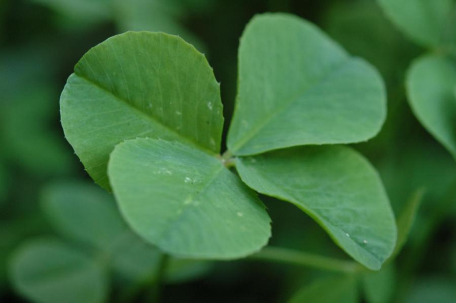 The+four-leaf+clover+is+a+rare+charm+that+most+people+associate+with+St.+Patrick%E2%80%99s+Day%2C+but+underneath+the+popularity+is+a+rich+and+complicated+history.