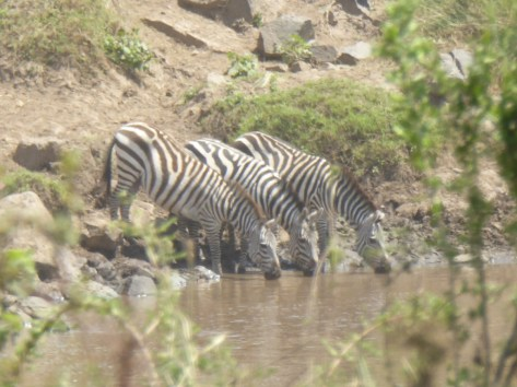 Zebras drinking from the Mara River