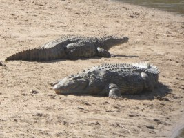 The Mara River is infested with crocodiles