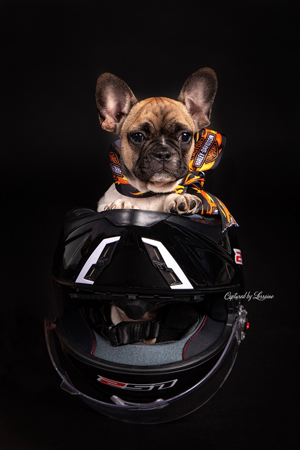 Illinois Pet Photography-Harley