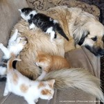 Braxton overcome with rescued kittens.