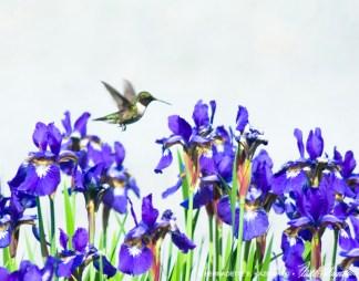 11 X 14 Hummingbird and Irises.