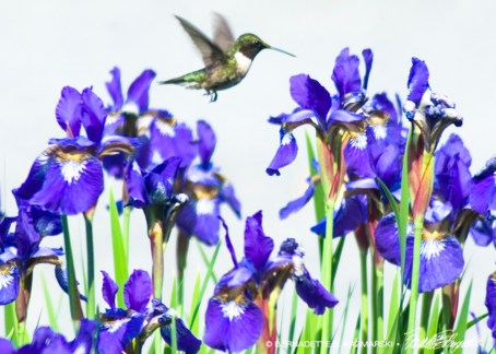 5 x 7 Hummingbird and Irises.