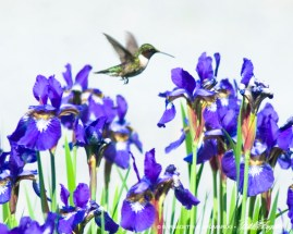 8 X 10 Hummingbird and Irises.