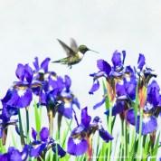 8 x 8, 10 x 10, 14 x 14 Hummingbird and Irises.